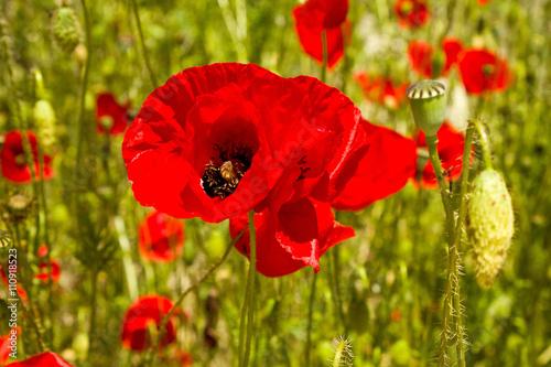 Poster Poppy Red poppy