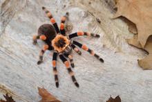 Birdeater Tarantula Spider Bra...