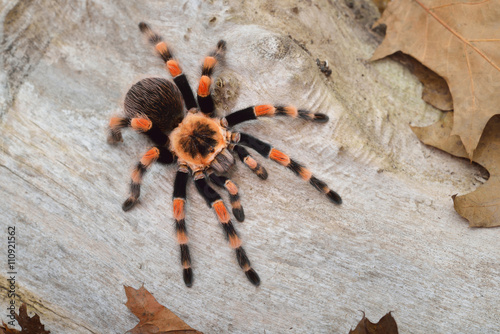 Foto Birdeater tarantula spider Brachypelma smithi in natural forest environment