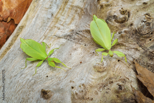 Photo  Two green leaflike stick-insects Phyllium giganteum interacting on a tree trunk