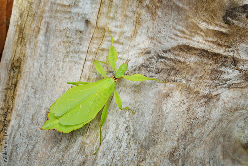 Photo  Green leaflike stick-insect Phyllium giganteum on a tree trunk in natural enviro