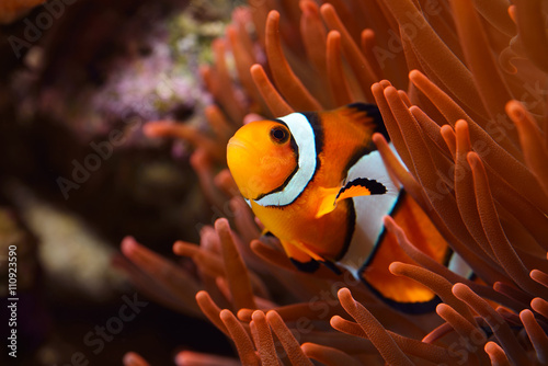 Fotografie, Obraz  Amphiprion Ocellaris Clownfish In Marine Aquarium