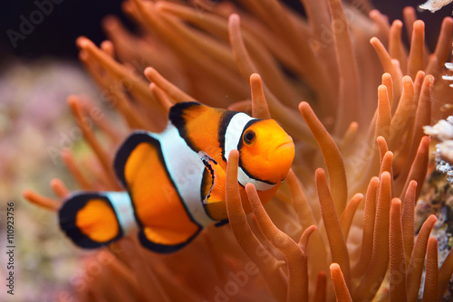 Amphiprion ocellaris clownfish in marine aquarium Fototapet