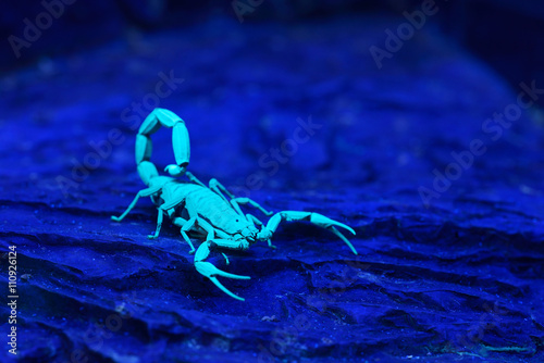 Bright blue scorpion Centruroides gracilis glowing under UV ligh