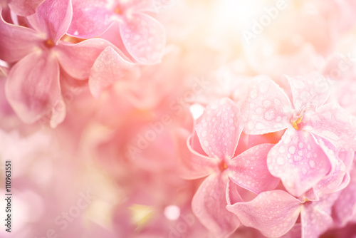 Foto op Canvas Bloemen Macro image of spring soft violet lilac flowers with water drops, natural seasonal sunny floral background. Can be used as holiday card with copy space.
