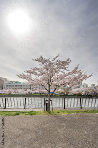 Fotografie, Tablou  View of sakura trees by the river from Sakuranomiya park in Osak