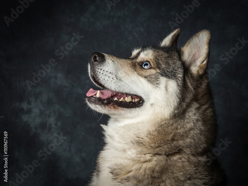 Canvas Prints Wolf Siberian Husky With Blue Eyes