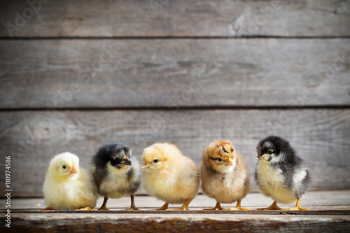 Fotografering little kid chick standing on wooden background