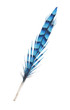 blue isolated striped bird feather