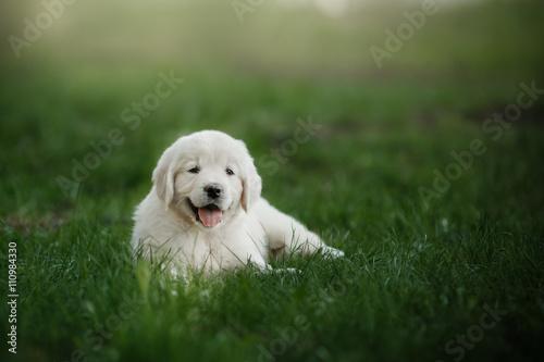 Stampa su Tela Little puppy Golden retriever