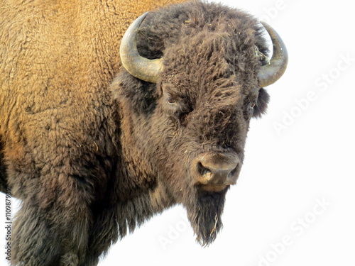 Keuken foto achterwand Buffel Bison looking at us in Yellowstone National Park