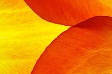 Tulip Petals Macro Closeup, Abstract Background
