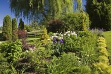 Garden Border With (spiraea Japonica) Gold Flame, Pink (paeonia) Peony, Yellow (achillea Millefolium) Yarrow Flowers  And (salix Alba Pendula) Weeping Willow Tree In Spring Season