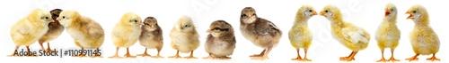 Fotografia cute chickens