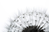 Dandelion isolated on white - 111017320