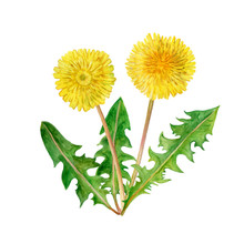 Watercolor Drawing Of Spring Flowers Taraxacum, Blowball. Hand Drawn Painting Of Beautiful Dandelion Plant. Flower Bouquet. Asteraceae Family, Cichorieae Tribe. Taraxacum Officinale. Medical Herb