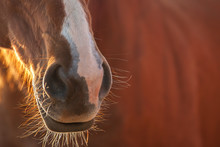 A Chestnut Horse's Muzzle And Whiskers.