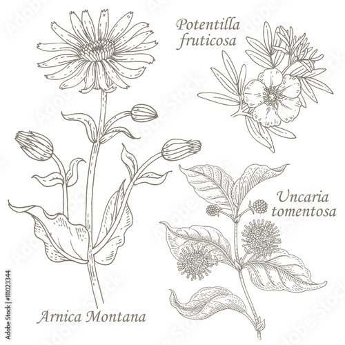 Valokuva  Illustration of medical herbs arnica, potentilla, uncaria.