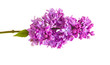Flowering branch of lilac. isolated on white background