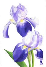 Watercolor Painting Illustration Purple Isolated Iris Flower Plant