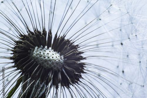 Close up macro of dandelion seeds ready to take flight. - 111046912
