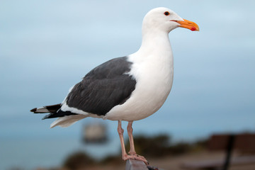 Seagull on park bench in Morro Bay Harbor on the Central Coast of California USA