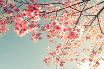 FototapetaVintage cherry blossom - sakura flower. nature background (retro filter effect color)