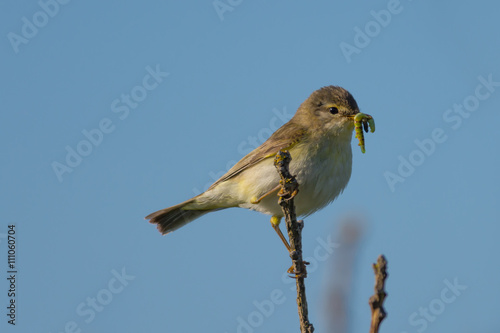 Printed kitchen splashbacks Grocery Willow Warbler with food in its beak
