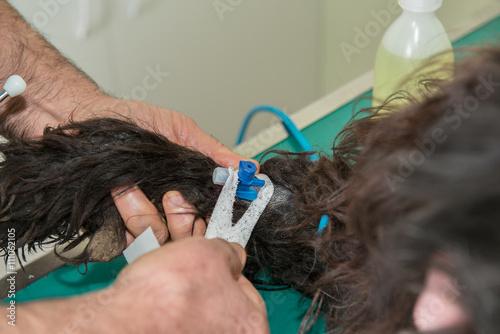 Foto  Pose d'un cathétaire sur la patte du chien.