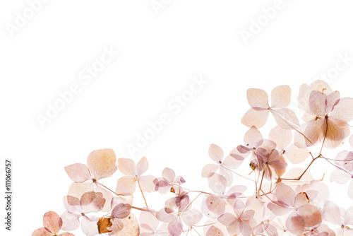 Papiers peints Hortensia dry hydrangea