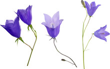 Three Blue Campanula Flowers I...