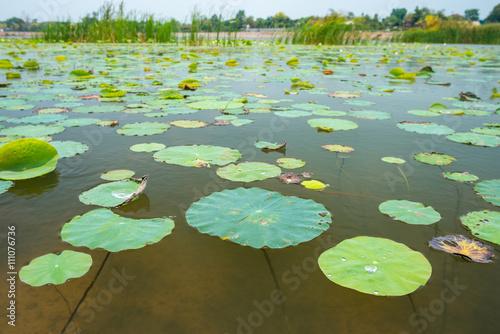 Deurstickers Waterlelies Lotus leaf background.