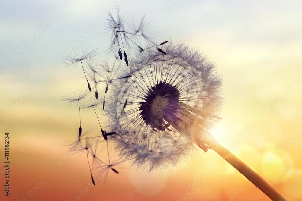 Fototapety, obrazy: Dandelion silhouette against sunset