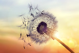 Fototapeta Puff-ball - Dandelion silhouette against sunset