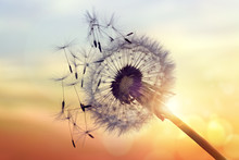 Dandelion Silhouette Against S...