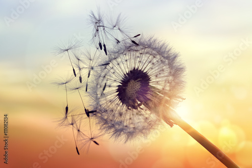 Photo sur Aluminium Pissenlit Dandelion silhouette against sunset