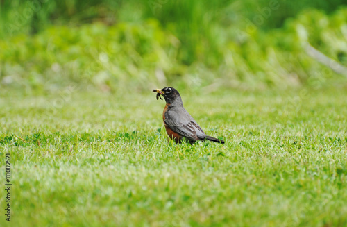 Photo  American Robin in a Grassy Field Feeding on Worms
