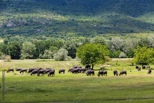 Fényképezés  Buffalo grazing next to the river Strymon spring in Northern Gre