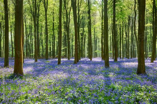 bluebells-w-wepham-woods