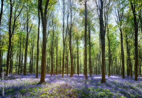 Keuken foto achterwand Bestsellers Bluebells in Wepham Woods
