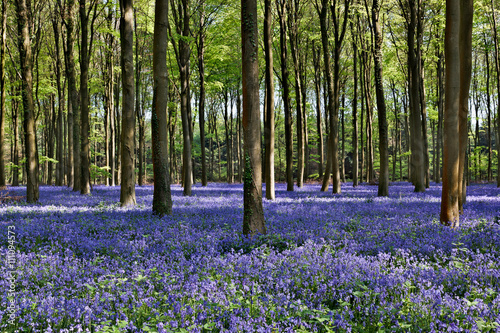 Bluebells in Wepham Woods Canvas Print