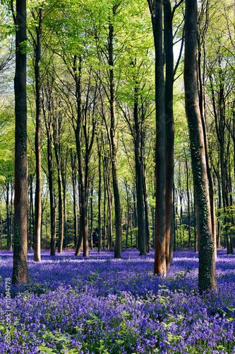 Foto op Canvas Bestsellers Bluebells in Wepham Woods