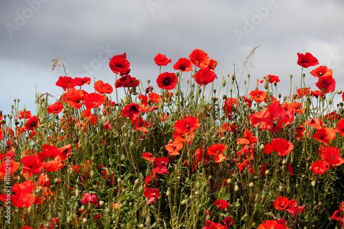Fototapeta Field of Poppies in Sussex obraz na płótnie