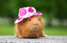 Red Guinea Pig In A Summer Hat Outdoors