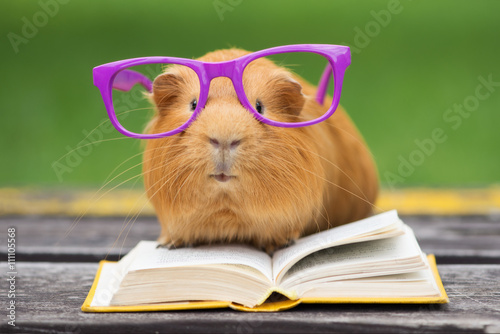 funny guinea pig in glasses reading a book