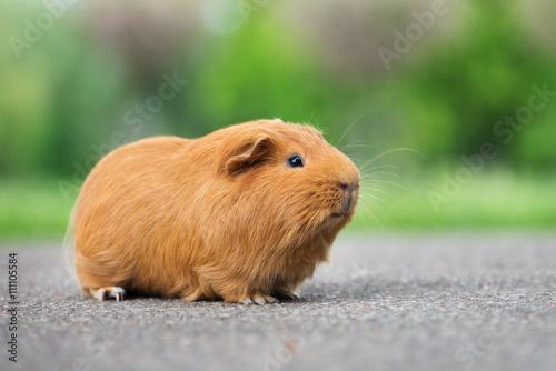 Fotografía  adorable guinea pig posing outdoors in summer