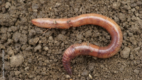 Earthworms in mold, macro photo