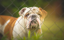 Guard Dog Behind The Fence - E...