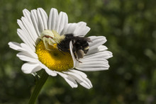 Bumble Bee Being Eaten By A Crab Spider On A Daisy