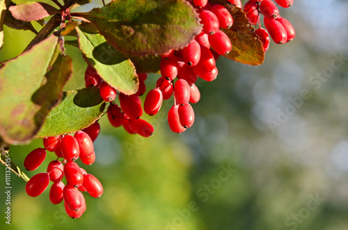 Red barberry berries on the tree Canvas Print